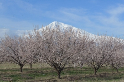 Flowering Apricot Tour